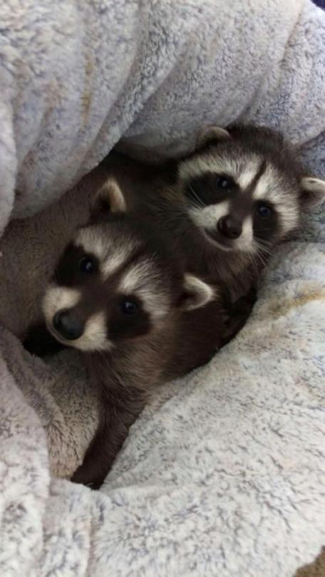 orphan raccoons