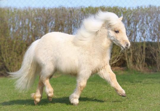 fluff pony