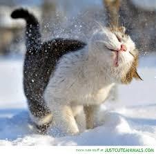 snow shake cat