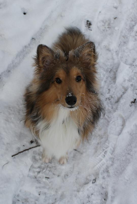 snow sheltie