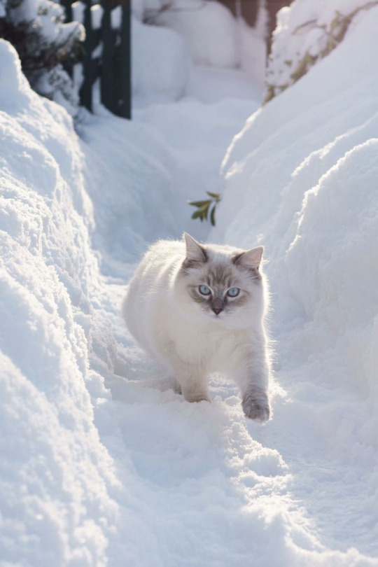 snow stalk kitty