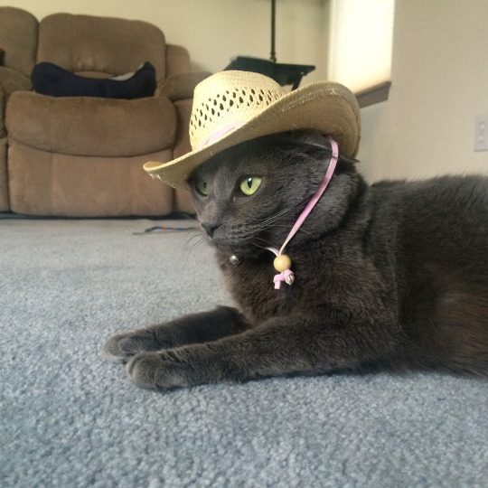 Western hat cat