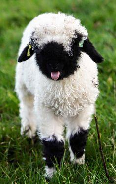 sheep blep 1