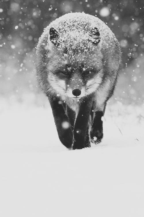 determined fox