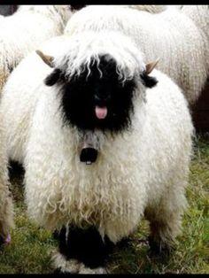 sheep blep 2