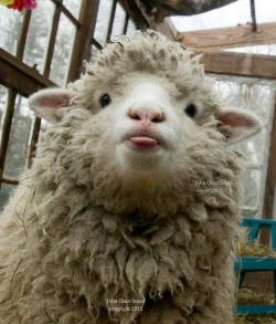 sheep blep 3