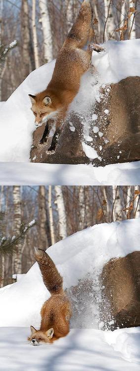 fox jump snow 1