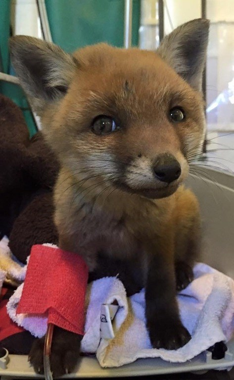rescued fox kit