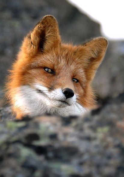 smug fox