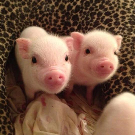 dual pigglies