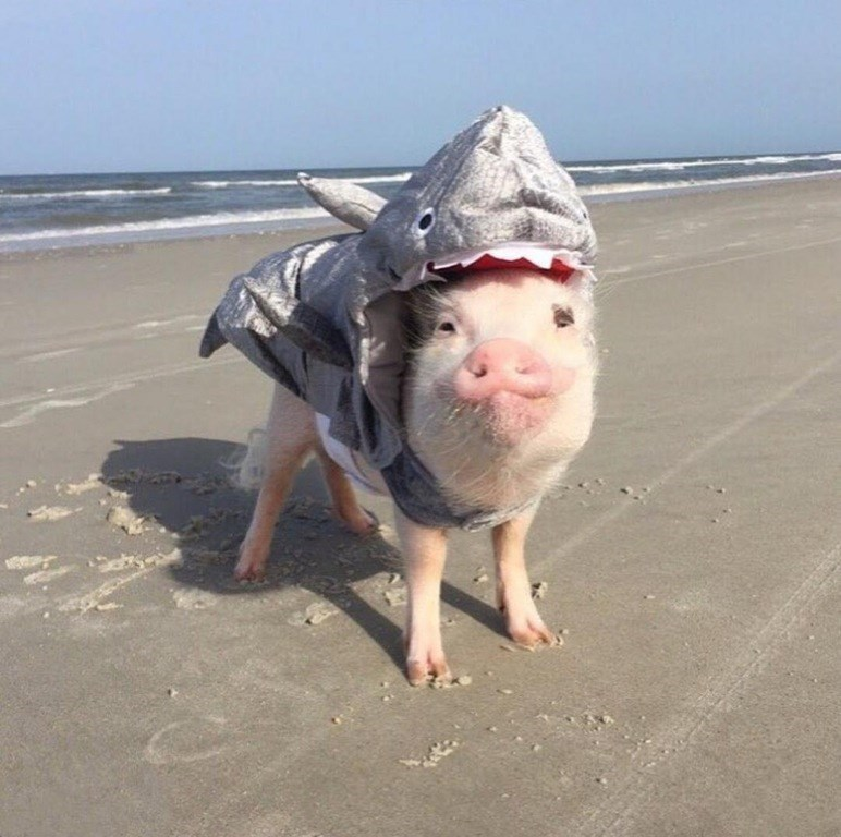 shark pig