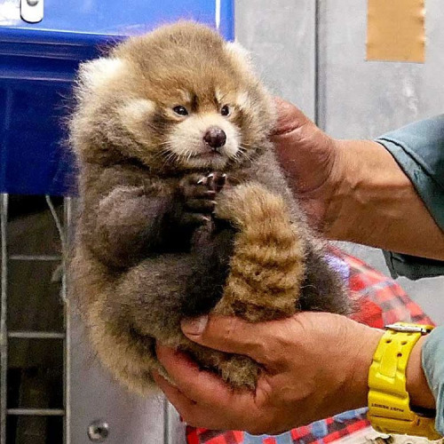 red panda who is cutest