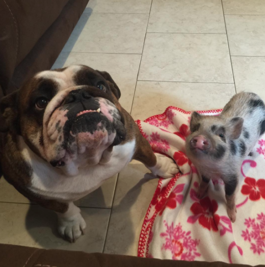 bulldog and piglet