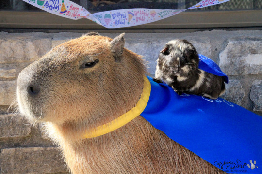 capt capybara and kid cavy