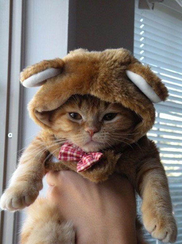 teddy cat