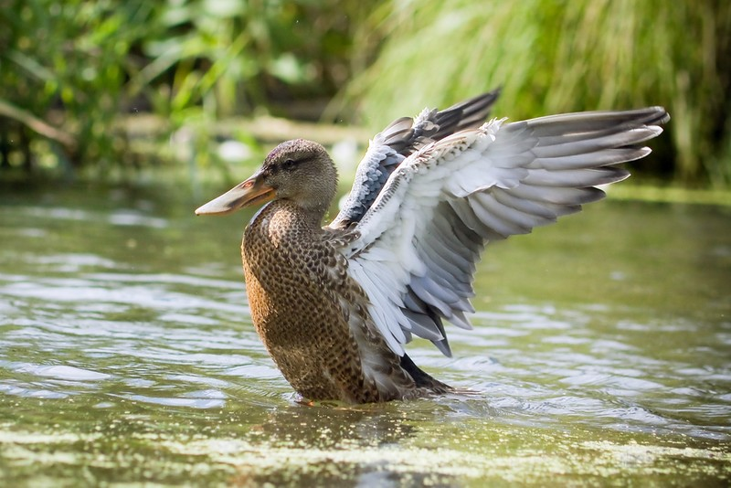 big bill ducky