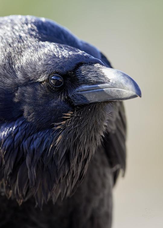 crow birb