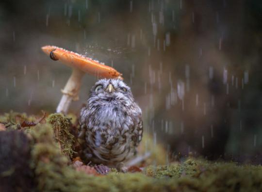 fairy owl