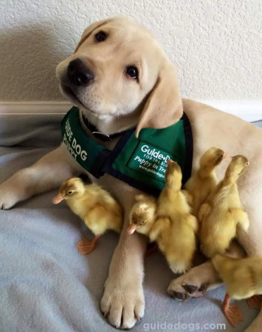 service dog with ducklings