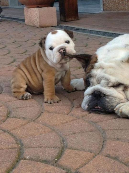 bitey pup