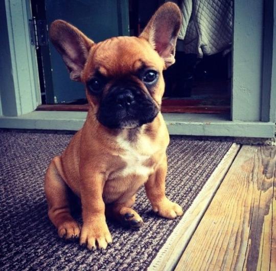 bull pup 1