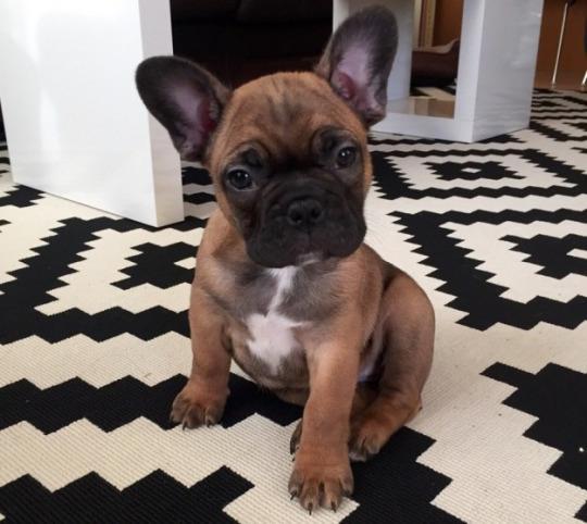 bull pup 4