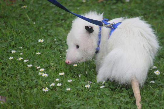 cotton opossum