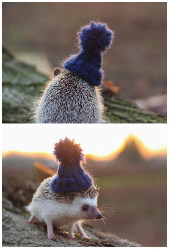 knit cap hedgie