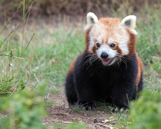 anti politics red panda