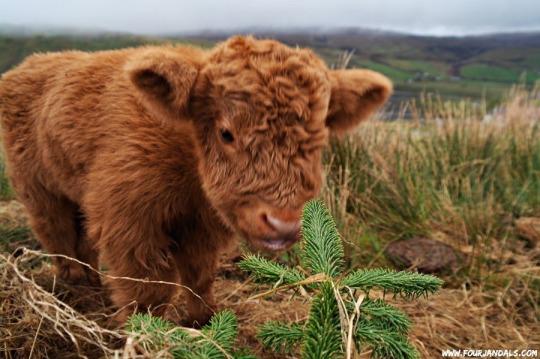 fuzzy cow