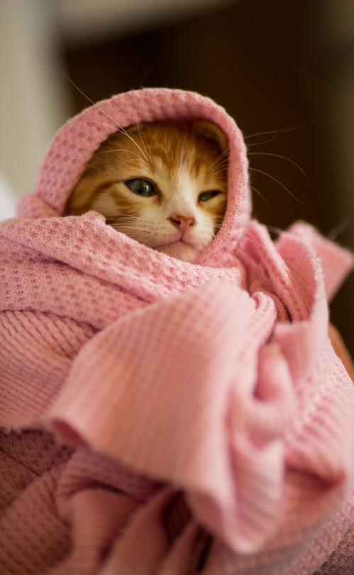 blanket tabby