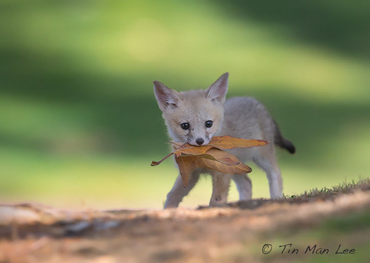 autumn fox pup