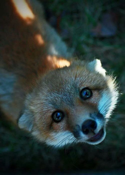oh hello fox