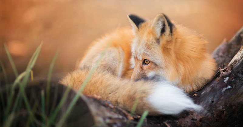 photogenic fox