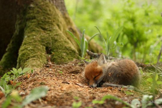 sleepin fox pup