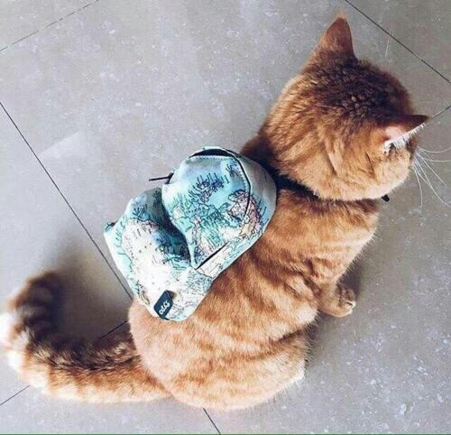 cat with backpack