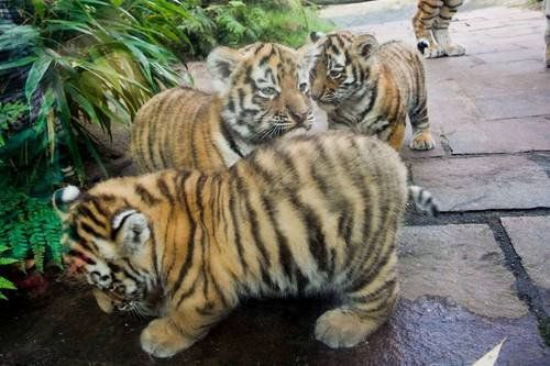 baby fat tigers