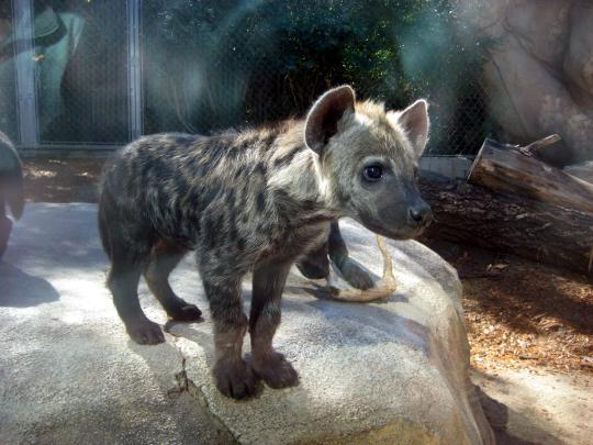 hyena cub