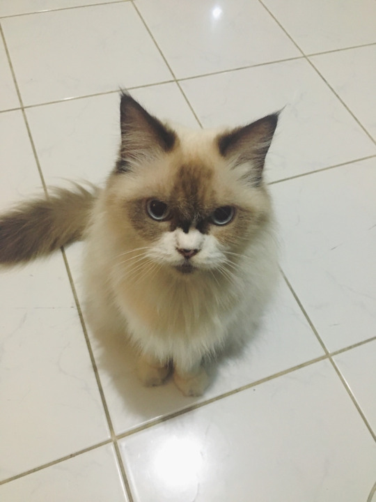 angry luna cat