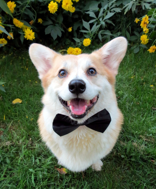 fancy corgi