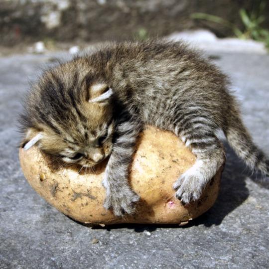 tater cat