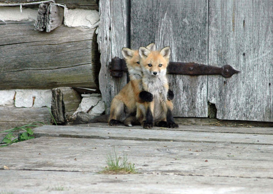 double fox pup
