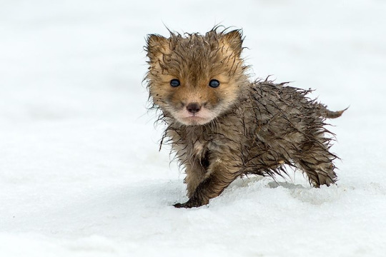 wet fox pup