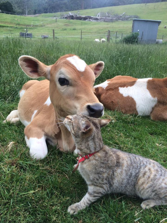 cat claims cow