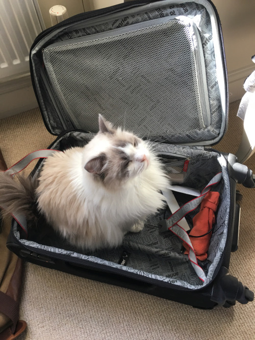 luggage cat 1