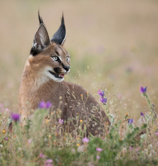 caracal in field