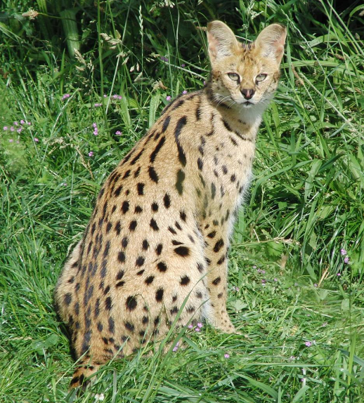 serval kitty
