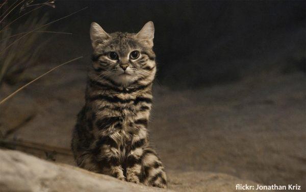 blackfoot cat