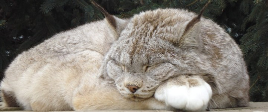 sleepin lynx