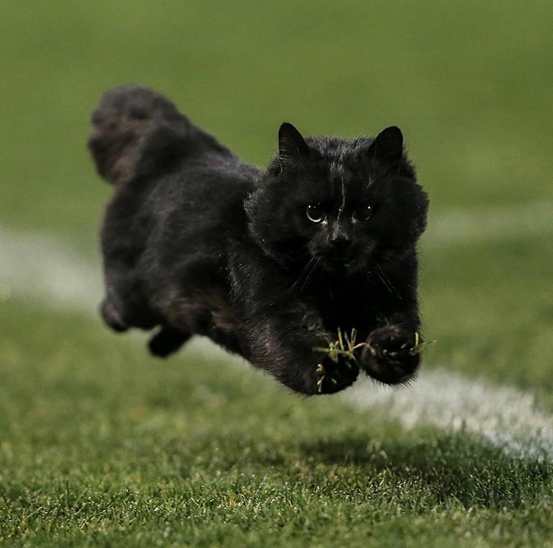 rugby cat